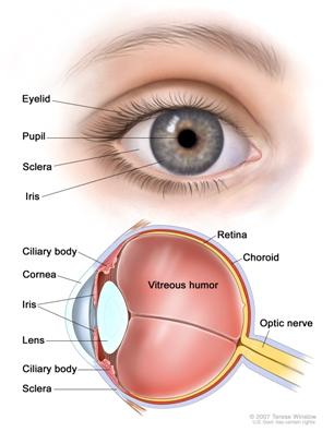 struttura dell'occhio